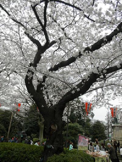 上野公園桜A